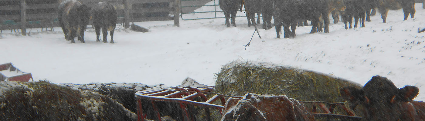 Puslinch, Ontario, farm, cattle, winter